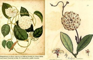 Illustrationen von Hoya carnosa